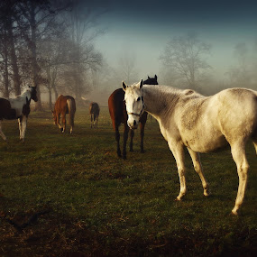 horses by Tomasz Marciniak - Animals Horses ( horses, fog,  )