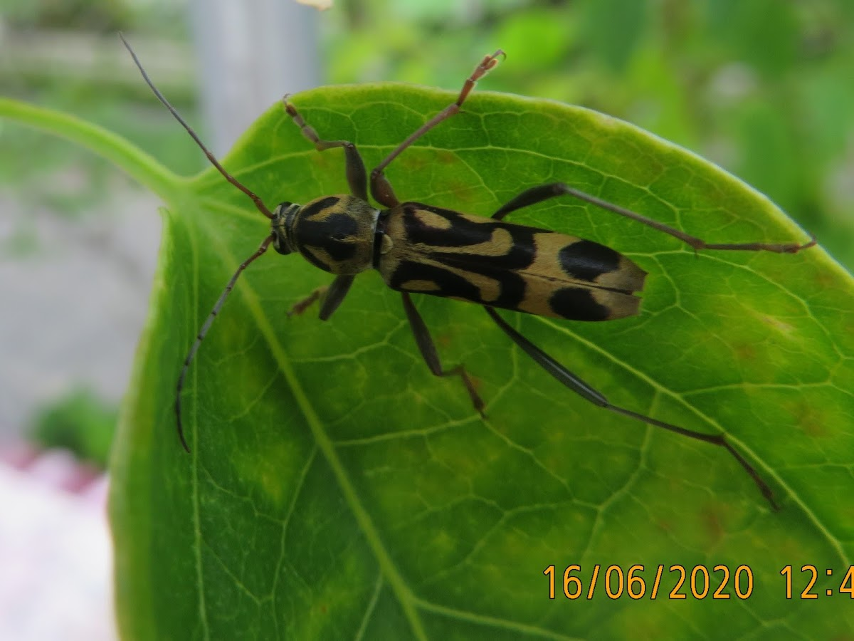 Long-horn Beetle