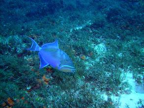 Photo: Queen Triggerfish