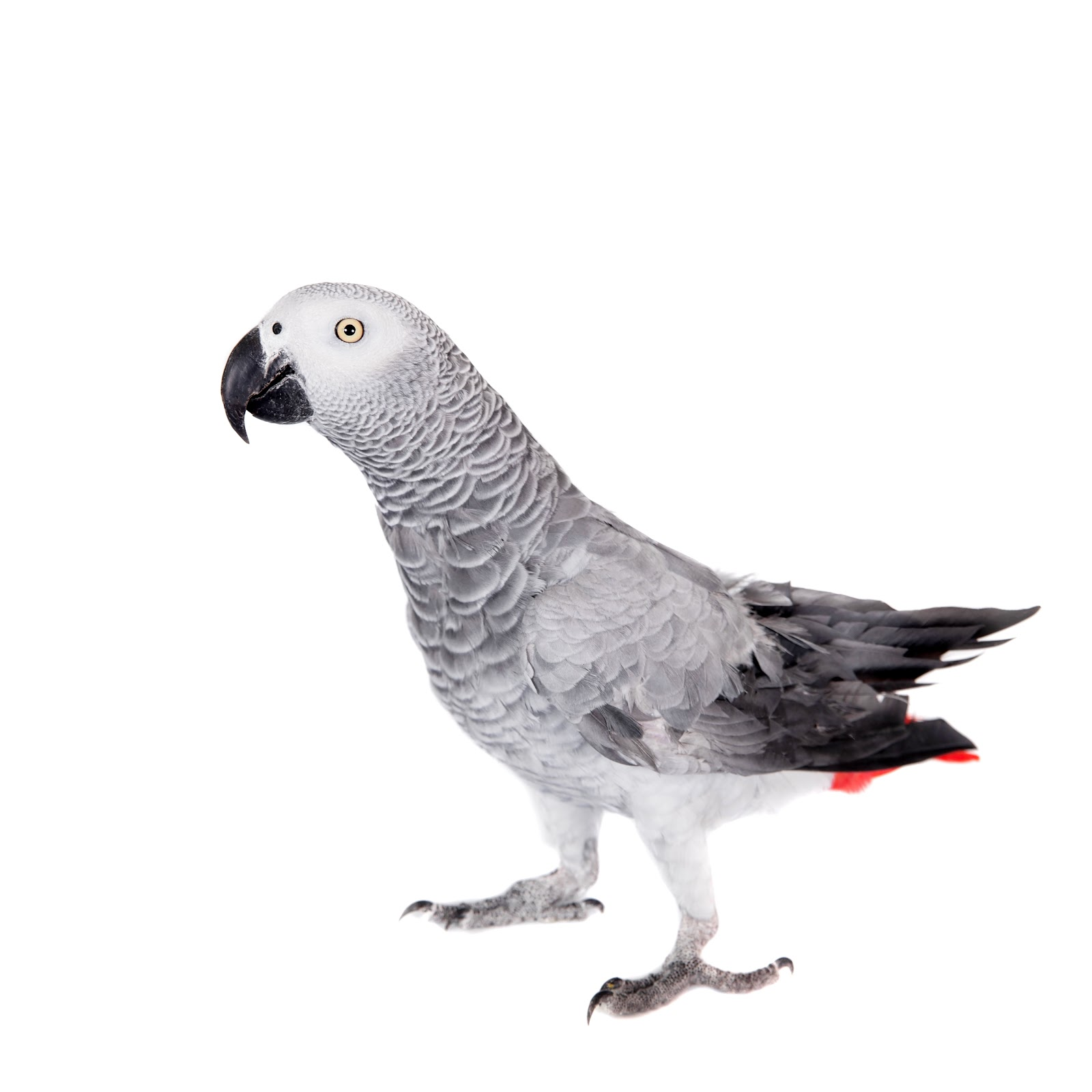 African grey parrot with clipped wings on white background.