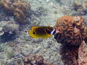 Photo: Chaetodon lunula (Raccoon Butterflyfish), Miniloc Island Resort reef, Palawan, Philippines.