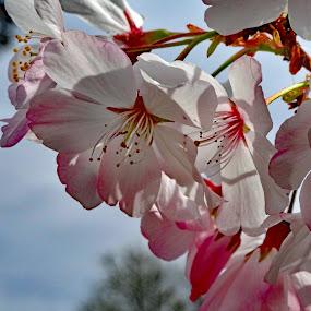 by Thomas Lane - Flowers Tree Blossoms (  )