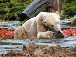 Photo: Tatzenpflege ist wichtig, findet Knut ;-)