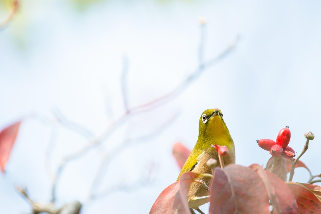 Photo: ご満悦 Delighted.  小さな果実 少しずつ ひとくちひとくち 小さなよろこび  Japanese White-eye. (メジロ)  #birdphotography #birds #cooljapan #kawaii #nikon #sigma  Nikon D800E SIGMA 150-600mm F5-6.3 DG OS HSM Contemporary  大塩貴文 写真展『まなざし』 2015年11月20日[金]-29日[日] < http://islandgallery.jp/12134 >