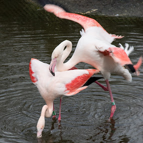 Mating Flamingos by Ton Hoelaars - Animals Birds ( zoo, birs, flamingo, mating, blijdorp )