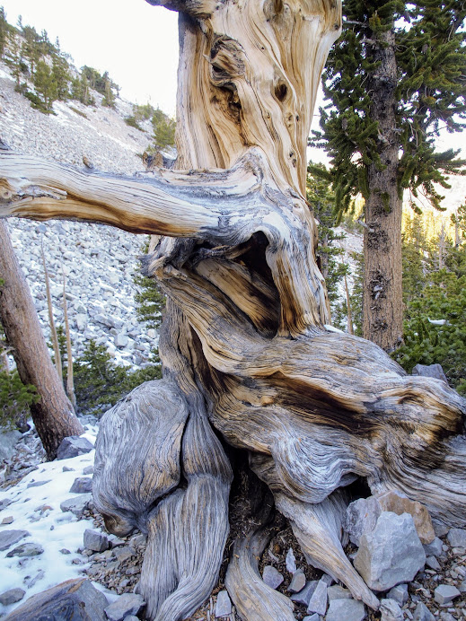 All that gnarly twisty trunk, so cool!
