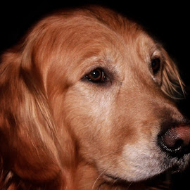 Sweet Boy by Patricia Phillips - Animals - Dogs Portraits ( dogs pets portrait retrievers golden )
