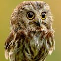 cute owl live wallpaper icon