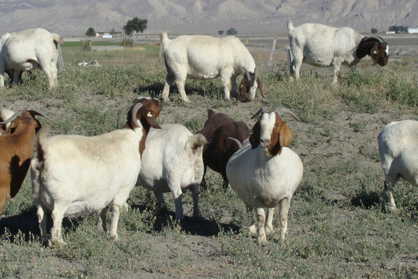 pregnant boer goats in nevada pasture