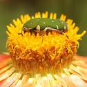Flower Beetle or Flower Scarab