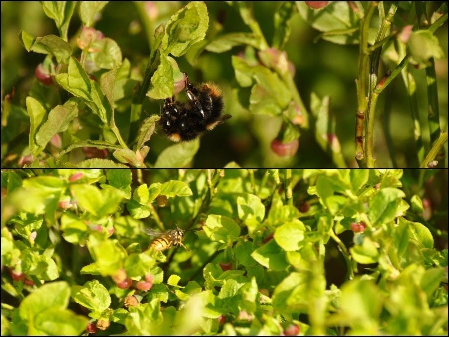 Buff-tailed bumblebee (top) and wasp (bottom) on bilberry