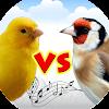 Chardonneret vs canari
