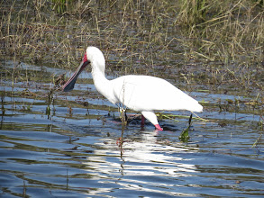 Photo: African spoonbill
