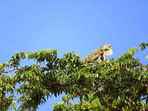 Photo: A big Green Iguana suns himself.