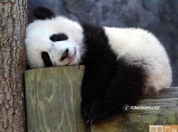 Panda's Pickin's