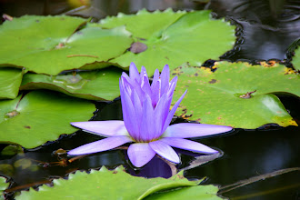 Photo: Year 2 Day 109 - Water Lily #2