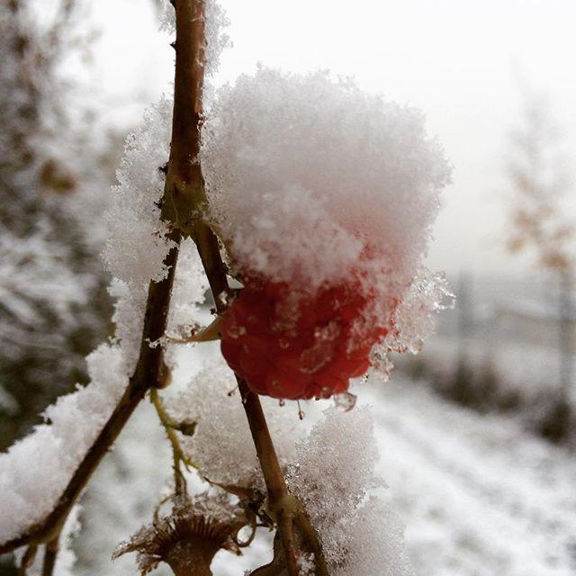 #red #berry #snow #nature #biella di betta_bb