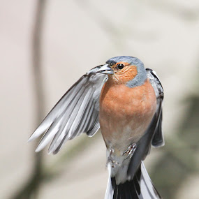 Look Right Chaffinch by Kenny Routledge - Animals Birds ( hovering, chaffinch, garden birds, birds )