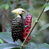 Picapau-de-cabeça-amarela (Blond-crested Woodpecker)