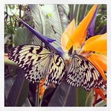 Photo: Butterflies at Butterfly Gardens, Victoria, BC #intercer #britishcolumbia #canada #victoria #butterfly #beautiful #wings #colors #yellow #white #garden #leafs #life #tropical #warm #fly #pretty #live #plants #insects - via Instagram, http://ift.tt/1DrJnhq