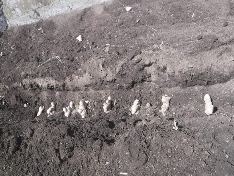 三州ショウガ、近江ショウガを畑の隅っこに植えました。稲わらを敷き詰めて、夏場の乾燥を防ぎます。