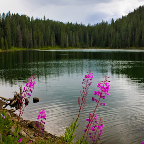 Fireweed on Little Jewel Lake by David Short - Landscapes Waterscapes ( wildflowers, grand mesa, fireweed, colorado )