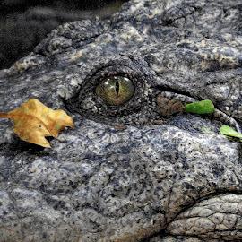 Croc at rest. by Govindarajan Raghavan - Animals Reptiles