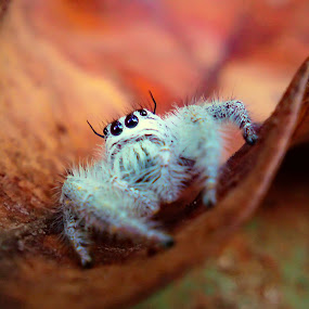 Jumping Spider by Teguh Teo - Instagram & Mobile Other