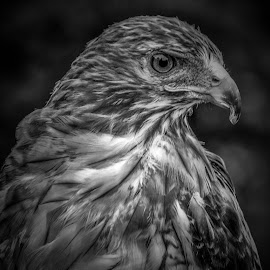 Red Tailed Hawk by Monroe Phillips - Black & White Animals