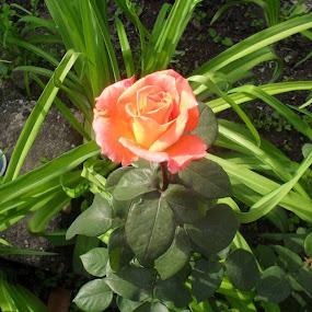Rose by Gordana Djokic - Nature Up Close Flowers - 2011-2013 ( rose, nature, nice, flowers, spring )