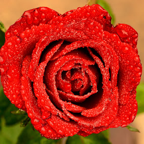 Red Rose by Idda Purwaningtiyas - Nature Up Close Flowers - 2011-2013 ( red, green,  )