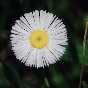 Perfection by Lyn Simuns - Flowers Flowers in the Wild ( wildflower, white, nature, daisy, perfection )