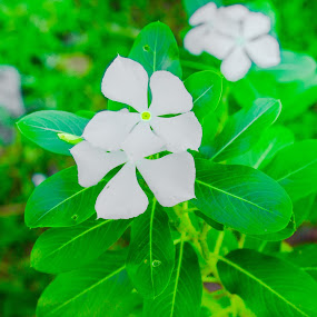 by Rizal Pungus - Flowers Single Flower