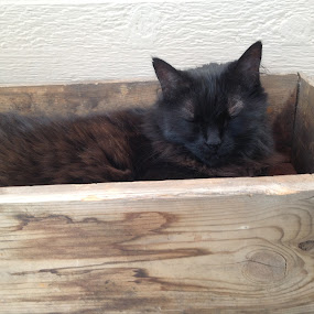 Cat in Box Study 1  by Diana Reed Kubec - Animals - Cats Portraits ( cat, summer, black cat, animal, brown cat,  )