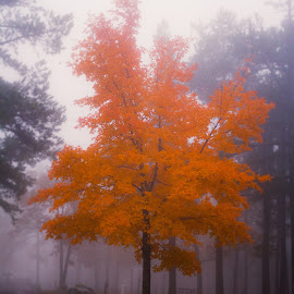 Color in the Fog by Jennifer  Loper  - Nature Up Close Trees & Bushes ( orange, arkansas, tree, trees, park, mist, fog,  )