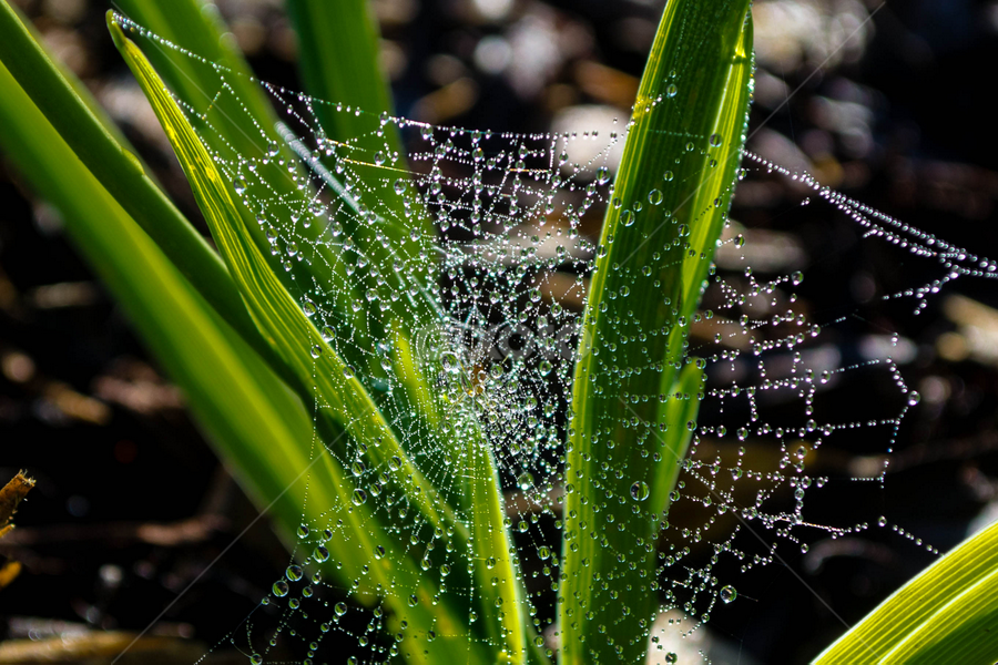 Web with Dew by Beth Mears - Nature Up Close Webs ( dew, web, spiderweb )