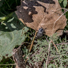 Garden Carrion Beetle