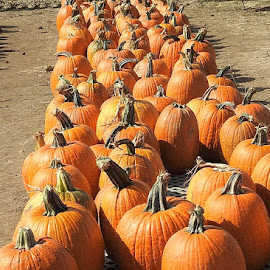 Pumpkins in a row by Mary Gallo - Food & Drink Fruits & Vegetables ( pumpkins, lined in a row, vegetables, food, row of pumpkins,  )