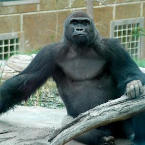 Gorilla Pose by Gayle Mittan - Animals Other Mammals ( gorilla, female gorilla, omaha, habitat, pose, mammal, outside, henry dorley, animal, zoo, sitting, summer )