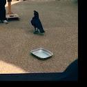 Raven bird