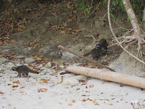 Photo: Racoons on the beach