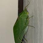 Greater Angle Wing Katydid
