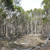 Swamp Tea-tree (forest)