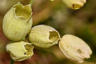 Photo: Silene vulgaris