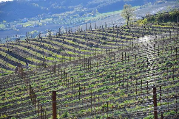 vigne a primavera di s_ornella
