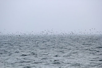 Photo: Short-tailed Shearwaters