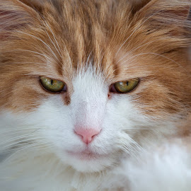 Face de Pet by Yves Sansoucy - Animals - Cats Portraits