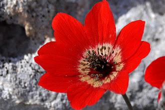 Photo: Anemone coronaria