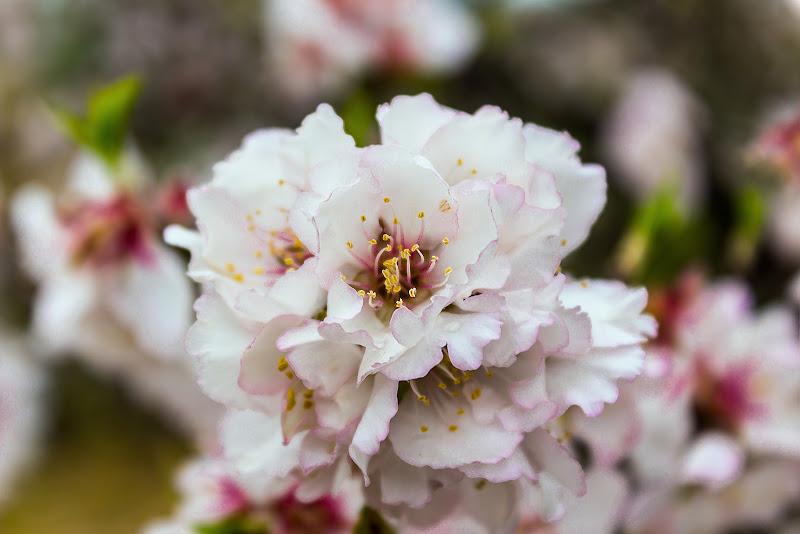 Mandorlo in fiore di Gaetano S. Greco