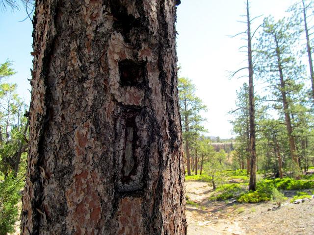 Blazed tree along the trail